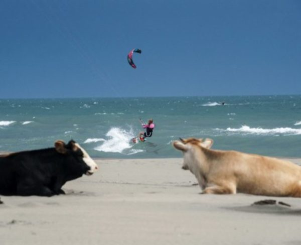 A kitesurfer sails on a downwind run on the waves of Mediterranean Sea as the cows stand on the shore of the sea near the town of Ulcinj on May 19, 2015. AFP PHOTO/ARMEND NIMANI / AFP / ARMEND NIMANI